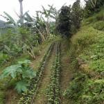 Small coffee plants