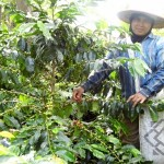 Coffee picker in Sumatra