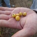 Yellow bourbons from the Fazenda Pantano