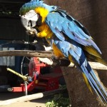 A parrot, the beautiful mascot of the Fazenda Pantano