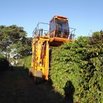 Coffee picker at work using a machinery
