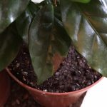 Brown spots on coffee plant leaves